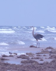 Great Blue Heron (BirdWatcher6723) Tags: 2012 beaches birds greatblueherons gulfs herons nature padreisland plovers ruddyturnstones texas unitedstates water wildlife ardeaherodias