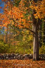 Along The Stone Wall (KAM918) Tags: along stone wall new hampshire nh londonderry nikon d610 trees autumn fall foliage colors