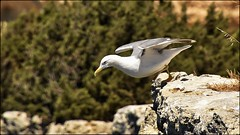 _DSC1291 (Valber78) Tags: mouette nikon5500 seabird oiseau birds