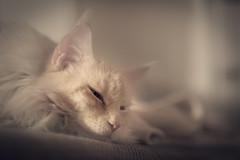 Aslan (camerue) Tags: depthoffield indoor mainecoon cat