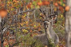 Kudu trying to hide (crafty1tutu (Ann)) Tags: travel holiday southafrica africa 2016 motswariprivategamereserve animal kudu male camouflaged wild inthewild free roamingfree crafty1tutu canon7dmkii ef100400mmf4556lisiiusm anncameron foliage plant naturethroughthelens