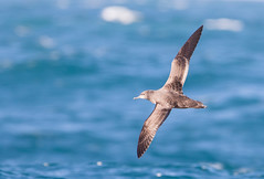 Sooty Shearwater #3 (scilly puffin) Tags: sootyshearwater sapphirepelagics islesofscilly october