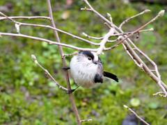Aegithalos caudatus...codibugnolo... (quarzonero ...Aldo A...) Tags: long tailed codibugnolo aegithaloscaudatus passeriforme aegithalidae bird nature coth sunrays5 coth5