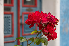 Red roses (Infomastern) Tags: ystad blomma flower ros rose