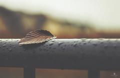 repos (rockinmonique) Tags: 52in52 fall autumn rain overcast grey drops railing leaf textures bokeh gold orange yellow moniquew canon canont6s helios442 copyright2016moniquewphotography