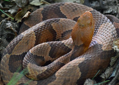 copperhead (ophis) Tags: viperidae agkistrodon agkistrodoncontortrix copperhead snake