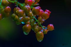 Las primeras lluvias del Otoo (marcus turkill) Tags: autumn otoo gotadeagua waterdrop water agua nikon nikond3300 nature naturaleza macro macrofotografia macrophotography