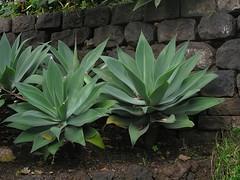 Drachenbaum-Agave in Funchal, Madeira , NGIDn1636395640 (naturgucker.de) Tags: ngidn1636395640 naturguckerde drachenbaumagaveagaveattenuata funchal cwolfgangkatz