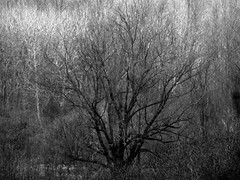 trees on a grey day (5) (Ange 29) Tags: trees bw canada daylight king overcast f45 300mm om zuiko township omd em1 olmypus