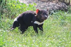 Tasmanian devil_5205 (stone_222) Tags: devil tasmanian