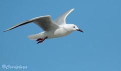 Gaviota Picofina Slender-billed Gull (Larus genei) (Corriplaya) Tags: birds aves slenderbilledgull larusgenei gaviotapicofina corriplaya