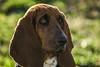 Don't distract me! (Jam Photography & Digital Art) Tags: dog sun sunlight nature animal prom bassethound liara