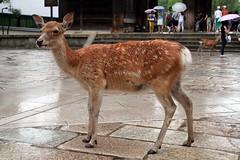 Nara - A spasso per il Nara Koen (*maya*) Tags: park parco japan kyoto gate shrine buddhism deer fawn temples bambi nara giappone templi cervo nandaimon narakoen cerbiatto santuari buddismo greatsoutherngate