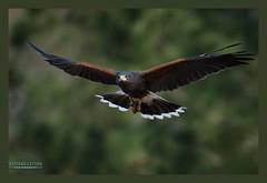 Harris Hawk (nathan512) Tags: nikon hawk 70200 d4s