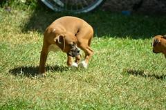 Soledad y naturaleza. (Caro Z.) Tags: sunset dog naturaleza pets cat puppy arbol atardecer kitten arboles parrot perro gato boxer gata perros mascotas siluetas gatita hogar cotorras chihuahueño ajflk