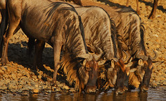Last chance saloon! (Rainbirder) Tags: kenya maasaimara bluewildebeest connochaetestaurinus rainbirder