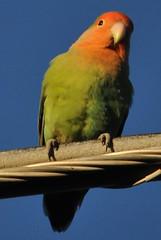 arizona urban southwest birds backyard parrot feeder scottsdale lovebird peachfacedlovebird rosyfacedlovebird agapornisroseicollis birdcount aviaryescape longwayfromafrica