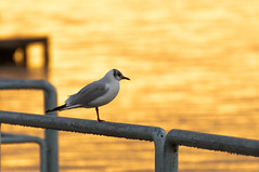 Gabbiano (alessioseverini) Tags: morning lake reflection bird water sunrise gold nikon seagull umbria gabbiano trasimeno d90 tuoro