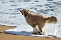 Free spirit (marinadelcastell) Tags: sea dog chien mer cane mar meer mare run perro hund splash gos schaum laufen correr espuma froth écume schiuma salpicar courir correre córrer schizzare éclabousser esquitxar bespritzen
