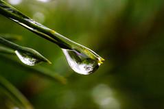 Droplet (hornblower441 (k. m. slenes)) Tags: water drop droplet vann vanndråpe dugg furukvist barskog