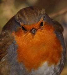 2015_01_0071 (petermit2) Tags: robin erithacusrubecula yorkshire barnsley rotherham southyorkshire rspb oldmoor dearnevalley