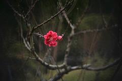 Peach  (Mel@photo break) Tags: china park pink plant flower garden spring branch bokeh peach pinky mel melinda zhuhai   reflexlens 50mmf35 chanmelmel   melindachan