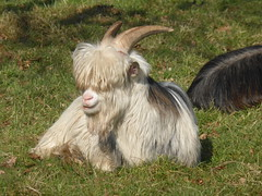 Goats, no need to be shy (Alta alatis patent) Tags: horns goat shy beatles gaasterland