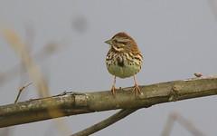 song sparrow (Shelby Townsend) Tags: sparrow songsparrow