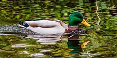 Mr Green (Steve-h) Tags: park ireland dublin white green nature water yellow bronze reflections grey duck pond gray mallard drake