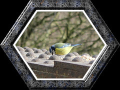 Blue Tit 04032015 (Wildlife Terry) Tags: birdtablebridge wheelockrailtrail wheelocksandbachcheshire wildlifeandnature photography birds tits robins nuthatch signsofspring