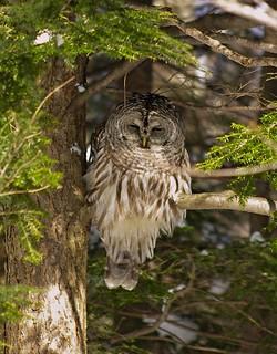 2015_0215Barred-Owl0008