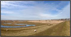 SLIKKEN VAN FLAKKEE (ESOX LUCIUS) Tags: winter holland nature sheep taco schapen goereeoverflakkee 2015 heckrunderen slikkenvanflakkee