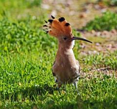 mohawk haircut (vil.sandi) Tags: bird portugal upupaepops hoopoe irokesenschnitt wiedehopf mohawkhaircut algavre hupu