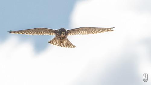 Fem. Common Kestrel (canariensis)(Falco tinnunculus canariensis)-0062.jpg