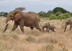 Loxodonta africana - African Bush Elephant or African Savanna Elephant -  Éléphant de savane d'Afrique - 19/02/10 (Philippe_Boissel) Tags: kenya mammals tsavo afrique mammifère éléphant loxodontaafricana proboscidea elephantidae tsavoest africanbushelephant africansavannaelephant éléphantdesavanedafrique 0437q