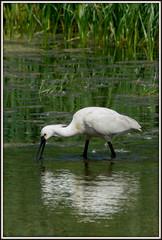 Spoonbill (Leorah91) Tags: bird nature netherlands nederland natuur vogel spoonbill lepelaar groenzoom