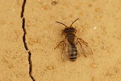 Grasbij - Andrena flavipes (henk.wallays) Tags: macro nature closeup europa belgium wildlife natuur location westvlaanderen aaaa vlaanderen ploegsteert henkwallays
