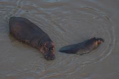 Hippos in the Mara River - Kenya (Christopher J May) Tags: nature water animal river wildlife balloon aerial hotairballoon hippo hippopotamus masaimara marariver nikond800 nikonafsnikkor200500mmf56