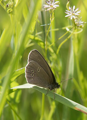 Ringlet butterfly (asp1969) Tags: ringlet hyperantus aphantopus maniolini satyrinae nymphalidae newtonmore scotland highlands spey river