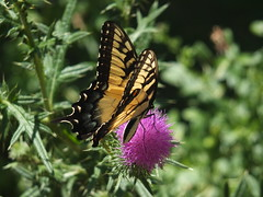Swallowtail Butterfly Feeding on a Thistle Flower DSCF2941 (Ted_Roger_Karson) Tags: fujifilmxs1 swallowtailbutterfly swallowtail butterfly handheldcamera thisisexcellent thistleflowerhead thistle clearwing hummingbird spinx fujifilm xs1 raynox dcr150 super macro flower hand held camera back yard friends backyard animals flying motion northern illinois macrolife flowerhead flowers twop hd eyes pollen animal outdoor insect pollinator plant depth field the group ourplanet clear wing with proboscis tongue extended feeding scarlet thistleflower northernillinois