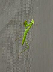 Mantis (Photography & Website Design) Tags: praying mantis insects bugs summer prayingmantis