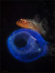 IMG_9682 (NonnaSP) Tags: bali diving fish indonesia macro nature ocean sea seraya snoot tulamben tunicate underwaterphotography water