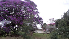 Jacaranda Tree in Bloom From Bus, Durban to East London, South Africa (dannymfoster) Tags: africa southafrica tree jacaranda jacarandatree floweringtree