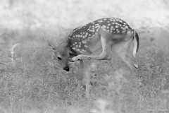 Itchy nose (NBTXN) Tags: bw nature nose texas wildlife deer polkadots spots fawn cuteness scratch itchy itch whitetail whitetaildeer babydeer selmaparkestates