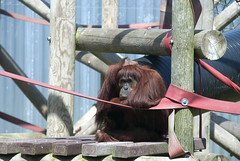 A-mei the Orang looking like she's in need of a coffee (vic_sf49) Tags: vicsf49 uk england dorset monkeyworld cronin