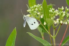 Cabbage White (Pieris rapae) (Megan E. McCarty) Tags: butterfly insect lepidoptera white cabbagewhite cabbagebutterfly pieridae pierid flower plant flora fauna indianhemp hemp nature canon canonrebelxt canoneosdigitalrebelxt