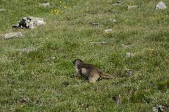 17 luglio - Rifugio Cuney - Lignan (Luca Rodriguez) Tags: aosta valle lucarodriguez moontagna mountain valledaosta trekking hiking altavia altavia1 marmotta