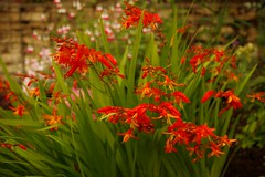 1295-14L (Lozarithm) Tags: aylesbury bucks canals guc pentaxzoom flowers crocosmia k1 28105 hdpdfa28105mmf3556eddcwr