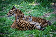 Joanne and Debbie (ToddLahman) Tags: baby canon teddy tiger tigers debbie sumatrantiger joanne safaripark canon100400 tigercub babytiger tigertrail sandiegozoosafaripark babysumatrantiger canon7dmkii
