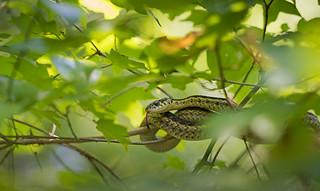 Garter Snake - in situ